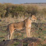 African Lion (4)