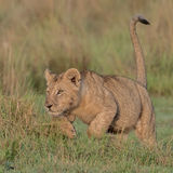 African Lion (9)
