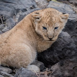 African Lion (10)