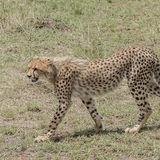 Cheetah (7)