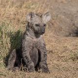 Spotted Hyaena (2)