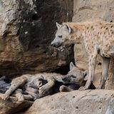 Spotted Hyaena (4)