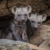 Spotted Hyaena (5)