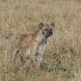 Spotted Hyaena (6)