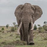 African Elephant (3)