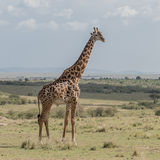 Masai Giraffe (1)