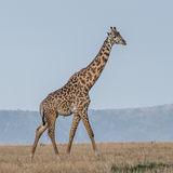 Masai Giraffe (4)