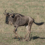 White-bearded Wildebeest (1)