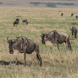 White-bearded Wildebeest (2)