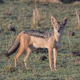 Black-backed Jackal (1)