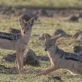 Black-backed Jackal (2)