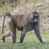 Olive Baboon (1)