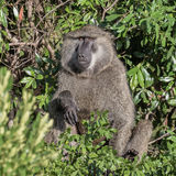 Olive Baboon (2)