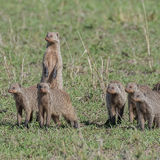 Banded Mongoose (1)