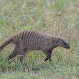 Banded Mongoose (2)