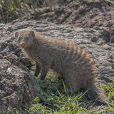 Banded Mongoose (3)