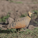 Yellow-throated Sandgrouse (1)