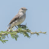 African Grey Flycatcher