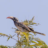 African Grey Hornbill (2)
