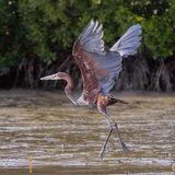 Goliath Heron (2)
