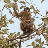 Temminck's Red Colobus (3)