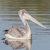 Pink-backed Pelican (1)