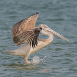 Pink-backed Pelican (2)