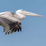 Pink-backed Pelican (3)