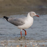 Grey-headed Gull (1)