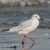 Slender-billed Gull (1)