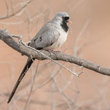 Namaqua Dove (1)
