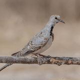 Namaqua Dove (2)