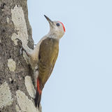 African Grey Woodpecker (1)