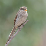 Yellow-billed Shrike (1)