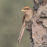 Yellow-billed Shrike (2)