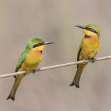 Little Bee-eater (2)