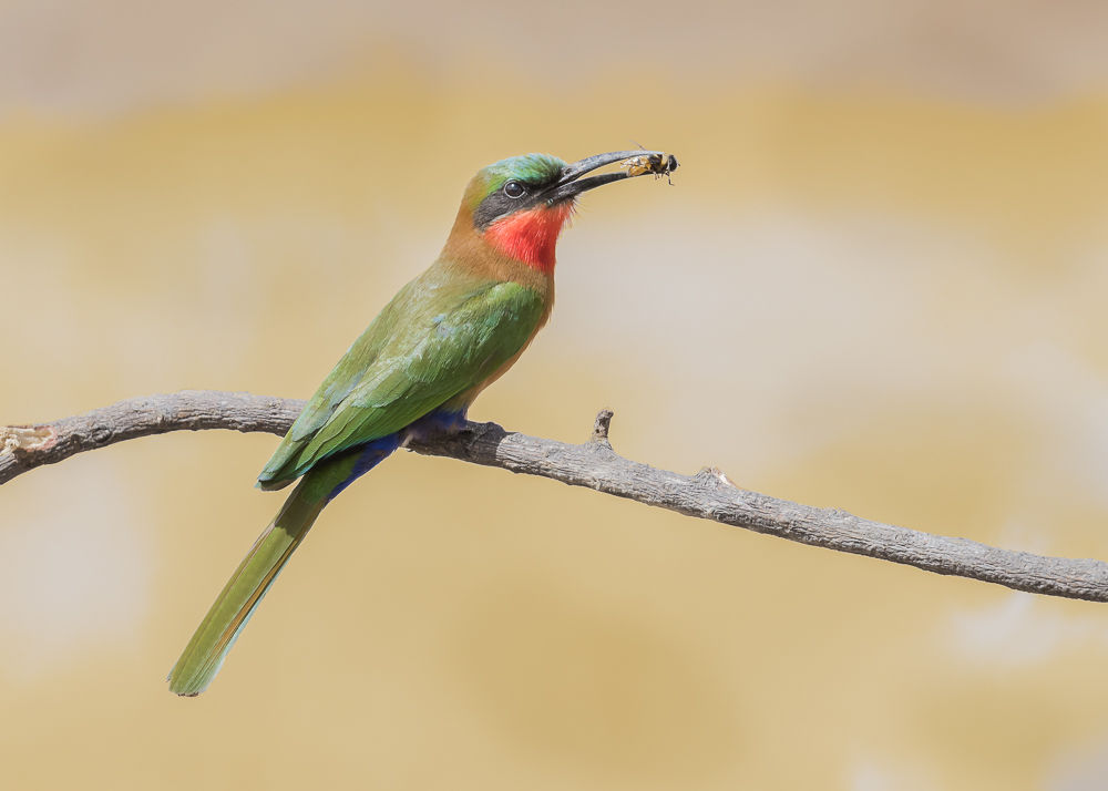 Red-throated Bee-eater (2)