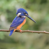 Shining-blue Kingfisher