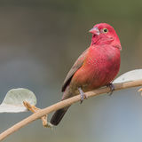 Red-billed Firefinch (1)
