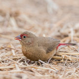 Red-billed Firefinch (2)