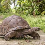 Aldabra Giant Tortoise (1)
