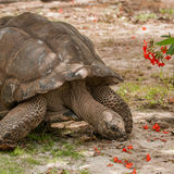 Aldabra Giant Tortoise (2)