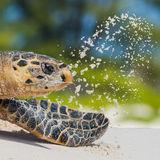 Hawksbill Turtle (1)