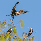 Great Frigatebird (3)