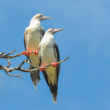 Red-footed Booby (2)