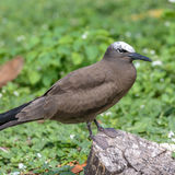 Brown Noddy (1)