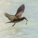 Brown Noddy (3)
