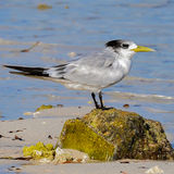 Greater Crested Tern (5)