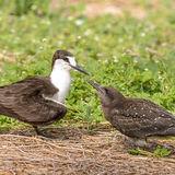 Sooty Tern (3)