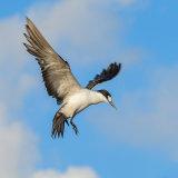 Sooty Tern (5)